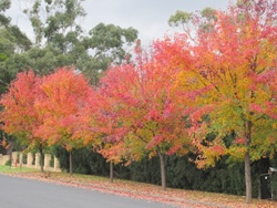 Mittagong tree lined st, Bowral, NSW Southern Highlands Australia