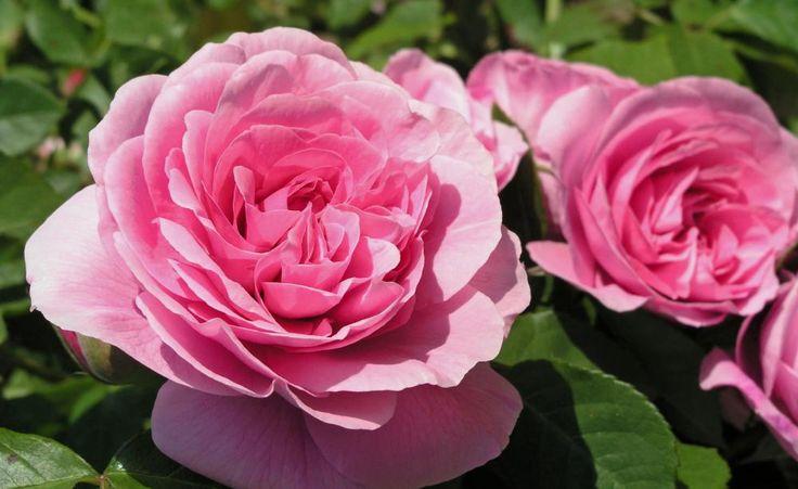 """Duftende Rosen -  """"Der Duft der Rose nimmt dich in einen süßen Bann"""" – so sinnierte einst Hermann Hesse in einem Gedicht über das Parfum der Blumenkönigin. Entdecken auch Sie diese besondere Faszination."""