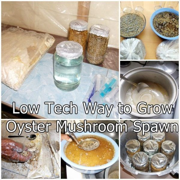 Low Tech Way to Grow Oyster Mushroom Spawn Homesteading - The Homestead Survival .Com #growingmushrooms