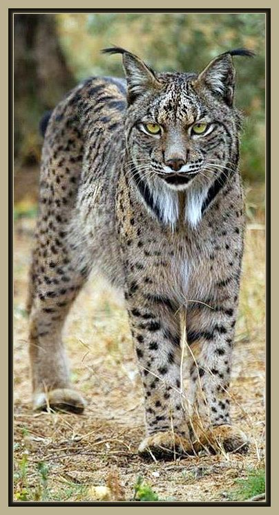 Iberian Lynx aka Spanish Lynx - There are noted differences from its relatives, the Eurasian Lynx: it is much smaller and its coat is more heavily marked with darker spots.