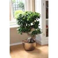Wish   Chinese Rare Ficus Microcarpa Tree Seeds 100pcs China Roots Sementes Bonsai Ginseng Banyan Garden Tree Outdoor Planters
