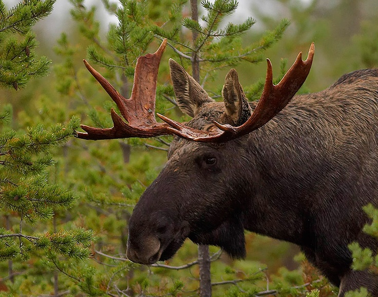 moose | Moose Pictures, Moose Hunting Tips, Moose Hunting Videos and a Moose ...