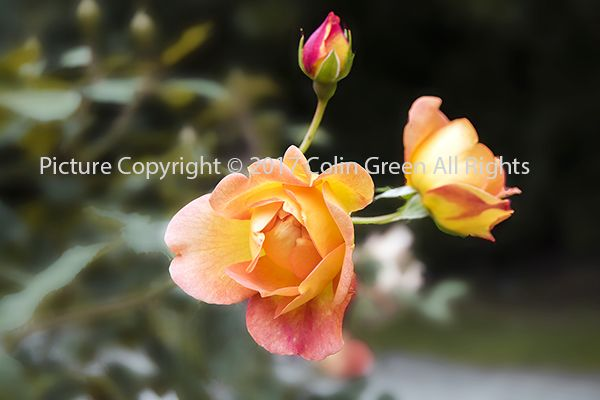 Colin Green Photography: Every Rose Image.