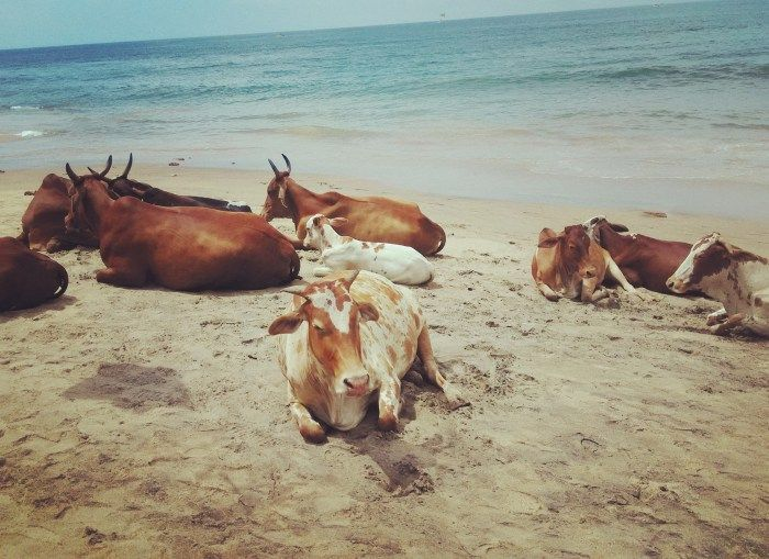 Sunbathing with the Cows: Goa Travelogue #Goa #Travel