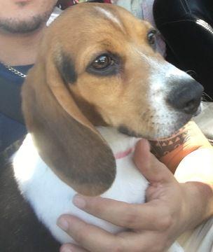 Beagle Puppy For Sale In Albuquerque Nm Adn 31022 On Puppyfinder