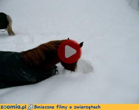 Co za radość - śnieg! Śmieszne Filmy Inne zwierzęta http://Zoomia.pl