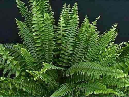 17 images about ferns on pinterest maidenhair fern - Nephrolepis exaltata ...