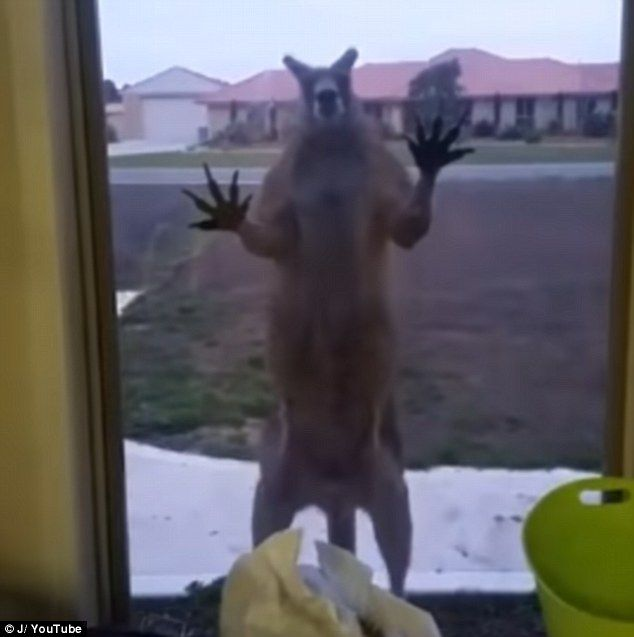 AUSTRALIA Kangaroo scares woman as it smashes against her window | Daily Mail Online