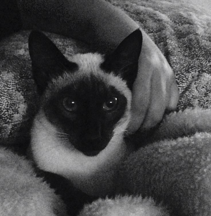 Our beautiful Siamese boy!