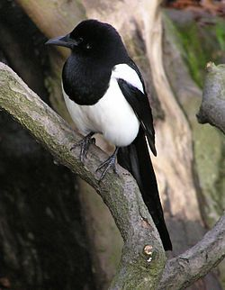Black-billed Magpie (Pica hudsonia) is a bird in the crow family that inhabits the western half of North America. It is notable for its domed nests, and for being one of only four North American songbirds whose tail makes up half or more of the total body length (the others being the Yellow-billed Magpie, the Scissor-tailed Flycatcher, and the Fork-tailed Flycatcher).
