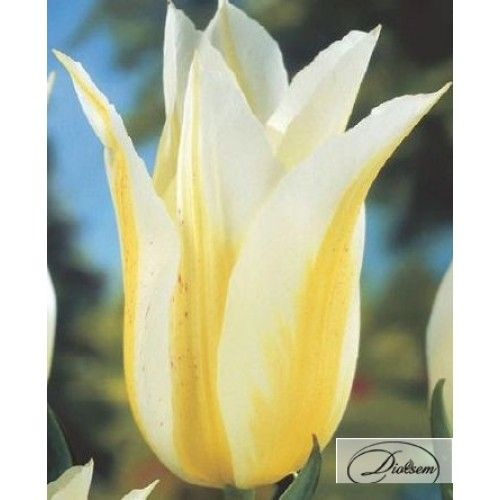 Bulbi lalele  Lily Sweet 12143