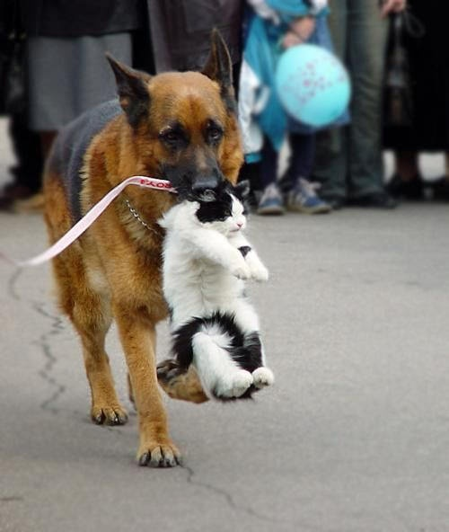 omg<3 LOL - I agree!!! Looks like kitty is going home, whether or not he wants too or not. Probably hasn't been dragged home by the scruff since he was a kitten, when Momma used to drag him home. German Sheppards are one of the smartest dog breeds, but I am not sure how he learned this routine.