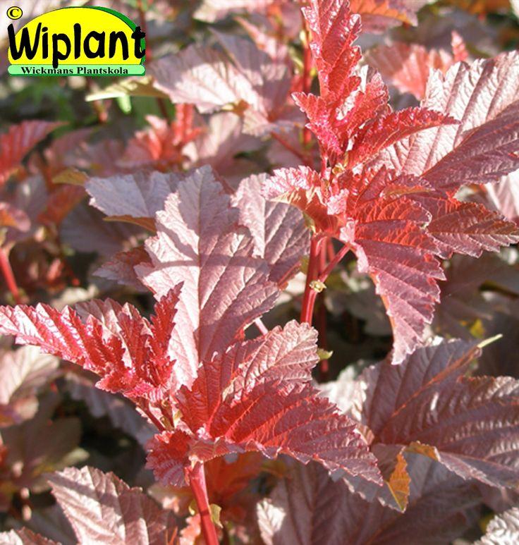 Physocarpus 'Lady in Red', Rödbladig smällspirea. Eldröda blad genom hela sommaren. Vita blomklasar. Höjd: 1,5-2 m.