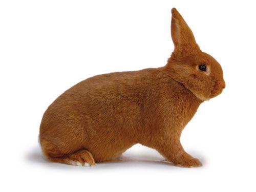 Kaninchen Rote Neuseeländer