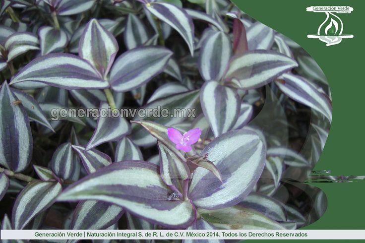 Colisandra, planta con colaración morado en las orillas y lineas verdes al interior