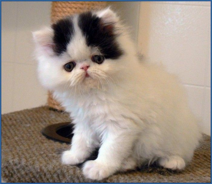 Grumpy Cat Breed Type | I Want a...... | Pinterest | Cats ...