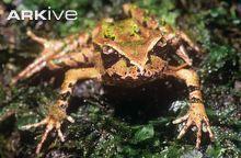 Archey's frog, anterior view