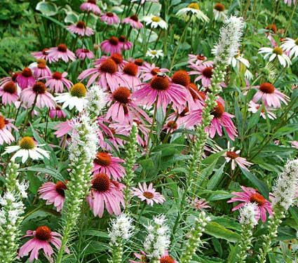The Butterfly Buffet Collection plants. Our Butterfly Buffet Collection includes one each of Echinacea purpurea 'Magnus' and 'White Swan' plus three Liatris spicata 'Alba'. The Coneflowers may even cross (thanks to the pollinators) and produce offspring with light pink flowers.
