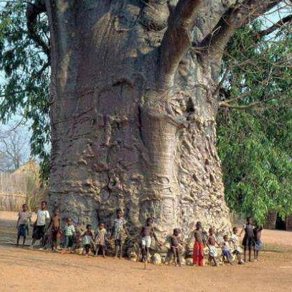 Trees are the oldest and the largest living things on earth.