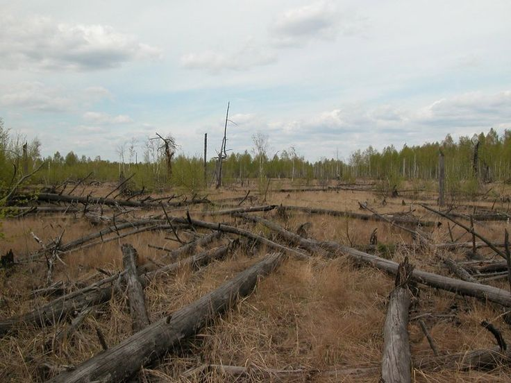 Forests Around Chernobyl Aren't Decaying Properly - It wasn't just people, animals & trees effected by radiation exposure at Chernobyl, but the decomposers: insects, microbes, & fungi - the creatures who cause decay were all killed by radioactivity, & trees killed in the fallout have not decomposed to sawdust - threatening a fire of catastrophic proportions that would spread contamination into surrounding regions.