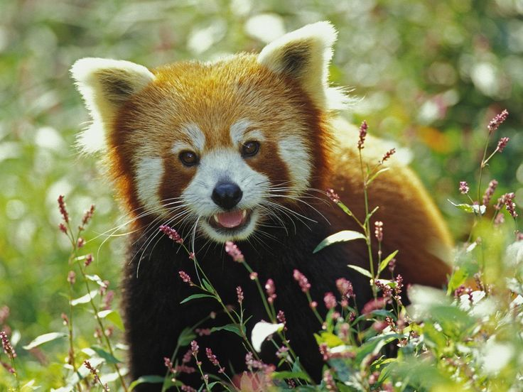 "The Red Panda, or ""firefox,"" Population 2500 [VU]. is often referred to as the ""lesser panda"" in deference to the better-known giant panda. The red panda has been previously classified in the families Procyonidae (raccoons) and Ursidae (bears), but recent research has placed it in its own family Ailuridae, The red panda's diet is very unusual for a mammal and consists mostly of bamboo. When the weather is warm enough, they also eat insects and fruit."