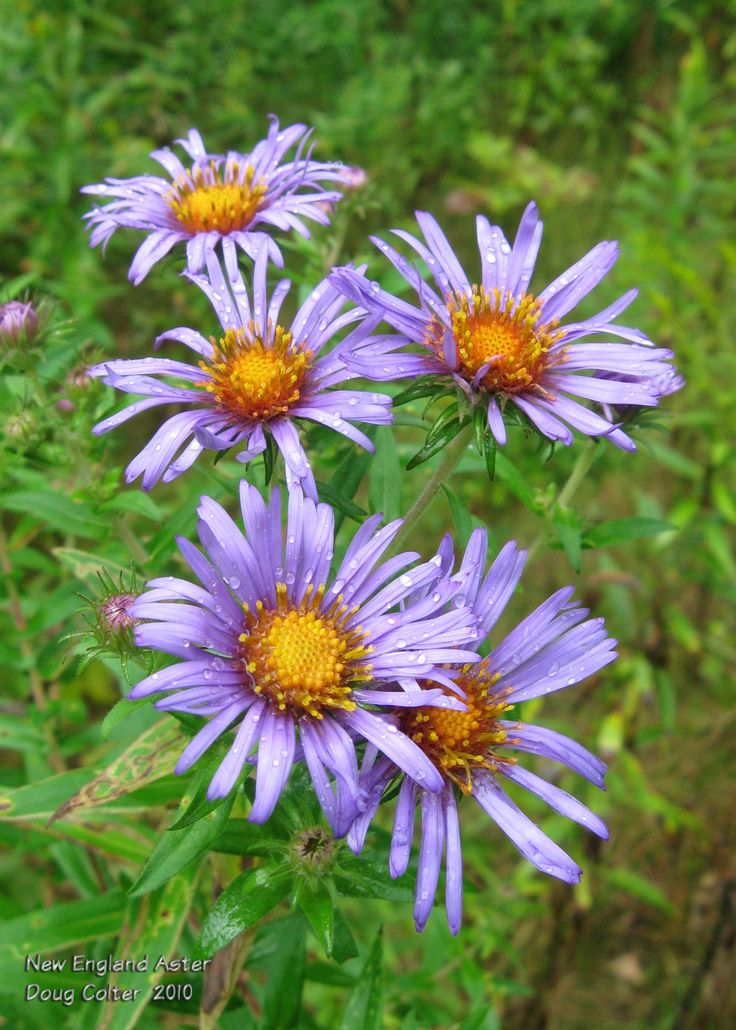 New England Aster (Aster novae-angliae) • Family: Aster (Asteraceae) • Habitat: damp thickets and meadows • Height: 3-7 feet • Flower size: flowerheads around 1-1/2 inches across • Flower color: purple rays around a yellow disk • Flowering time: August to October  • Photo by Doug Colter