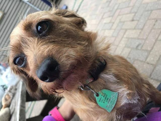 Lost Dog Saint Paul Dachshund Chihuahua Mix Female Date Lost 07 01 2019 Dog S Name Addison Breed Of Dog Dachshund Chihuahua Dogs Dog Ages