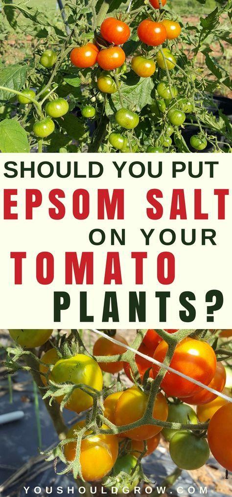 Epsom salt for tomato plants, is it necessary?