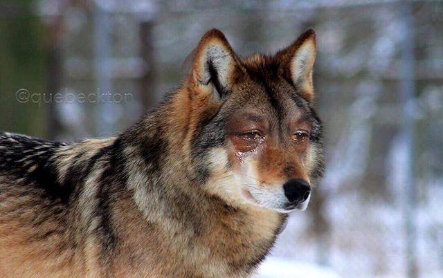 Timberwolves Right Now Cryingjordanface Cryingjordan Pet