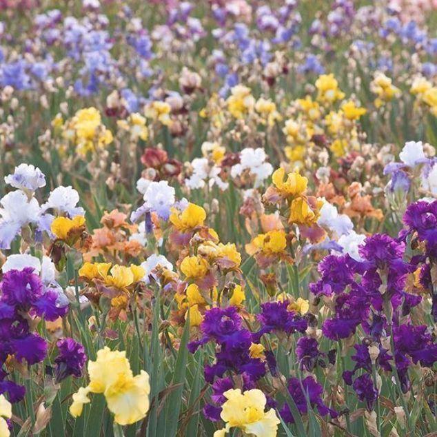 Photographer Az Instagramon A Field Of Colour Thousands Of Irises At Iris Cayeux France Irises Iris Fieldofir In 2020 Iris Flowers Growing Irises Shade Plants