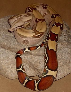 columbian red tailed boa...such beautiful animals.. if they didn't get so big (7-10 feet!!) i'd definitely have one already..