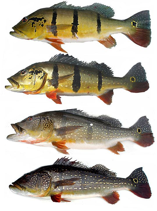 Peacock Bass Variations