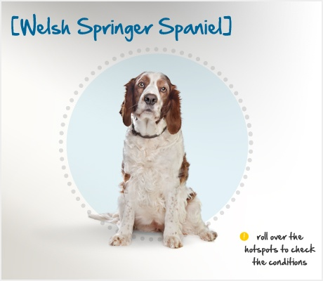 """The Welsh Springer Spaniel descends from the """"Land Spaniel,"""" a similar-looking red and white dog that appears in art dating back to Renaissance-era Wales. Two World Wars nearly depleted the breed, but breeders in North America and the UK developed the unregistered dogs that remained into the Welsh Springer of today — an excellent hunter, water dog, retriever and family companion.: Red And White, America, Dogs Breeds, Water Dogs, Breeds Facts, Welsh Springer Spaniel, Renaissance Era Wales, Beautiful Dogs, White Dogs"""