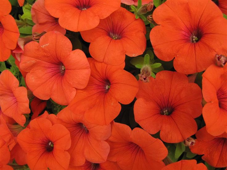 Petunia Panache Hell S Bells Brightly Colored Orange