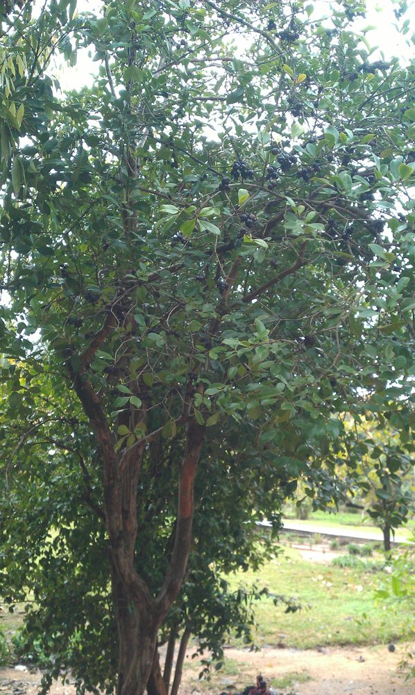 Strawberry guava tree - How to grow Strawberry guava plant, growing Strawberry guava tree in your garden http://www.growplants.org/growing/strawberry-guava