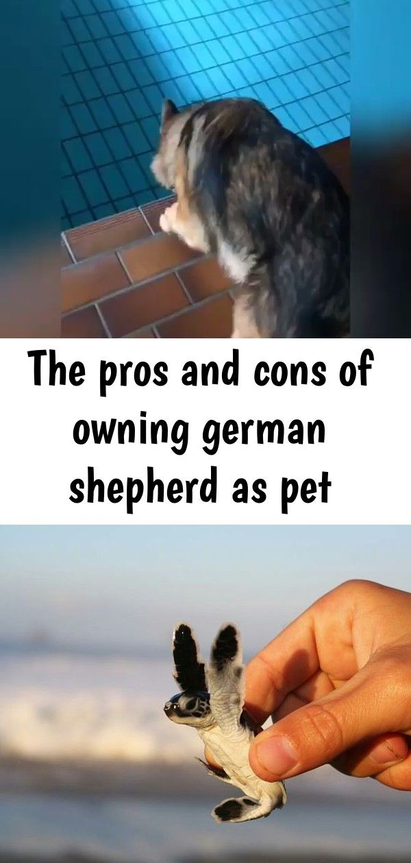 The pros and cons of owning german shepherd as pet ...