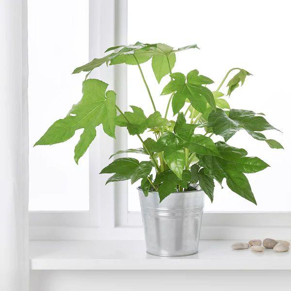 FATSIA JAPONICA Pflanze - Aralie - IKEA Deutschland in 2020 | Pflanzen, Topfpflanzen, Blumentopf