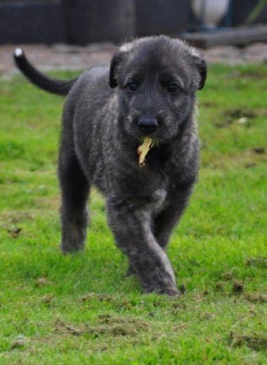 Irish Wolfhound Puppies For Sale, Wolfhound Puppies
