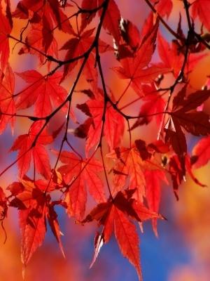 Lacrime di venerazione tingono le foglie rosse che cadono (Matsuo Basho)