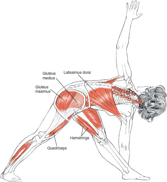 Parivrtta Trikonasana Leslei Kaminoff Yoga Anatomy Illustration by Sharon Ellis