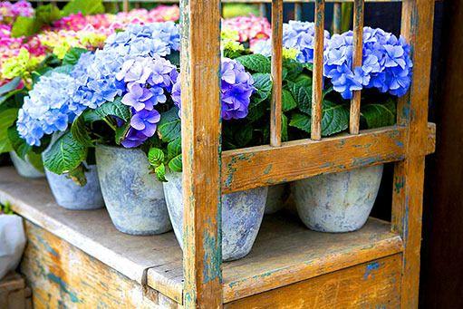 Hortenzie na zahrádce - Okrasná zahrada