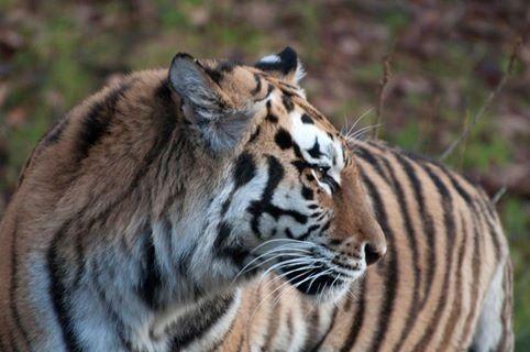 Tiger, Dyreparken - Kristiansand / Kristiansand zoo, Norway