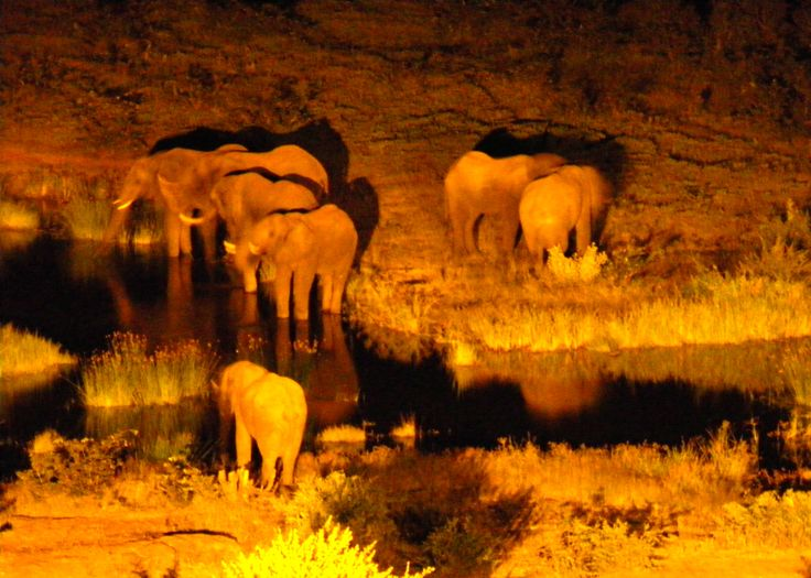 Late at night elephants gather together to the nearest water source.