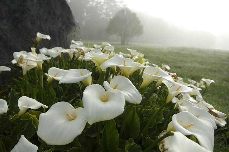 Calla Lilies Zantedeschia Aethiopica Photograph