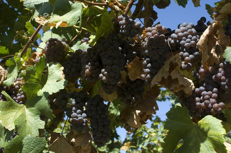 grapes bunches