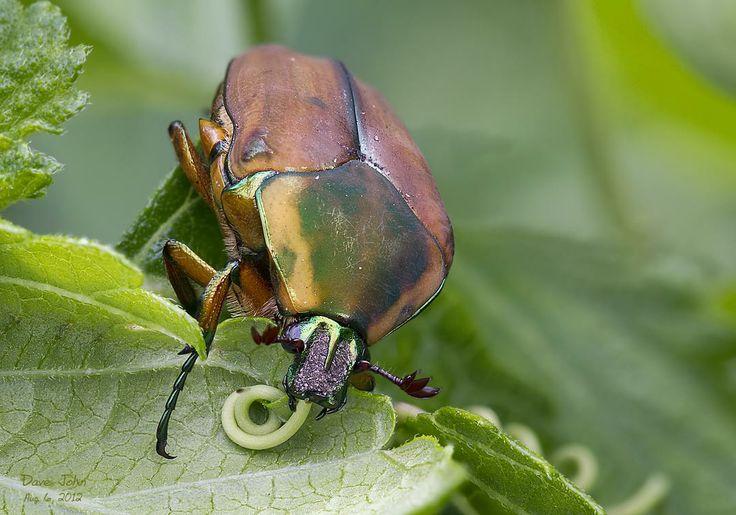 Domain Eukarya, Kingdom Animalia Class Insecta Family ... - photo#18