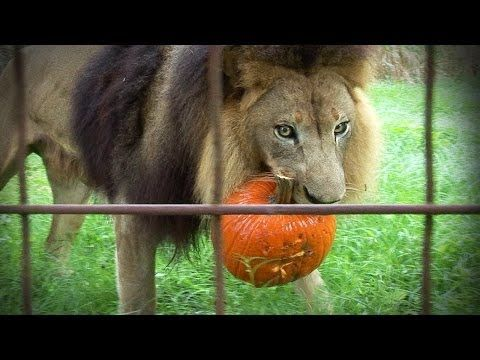 GROWLOWEEN! Lions Tigers & Bats! | Cute Puppy Love