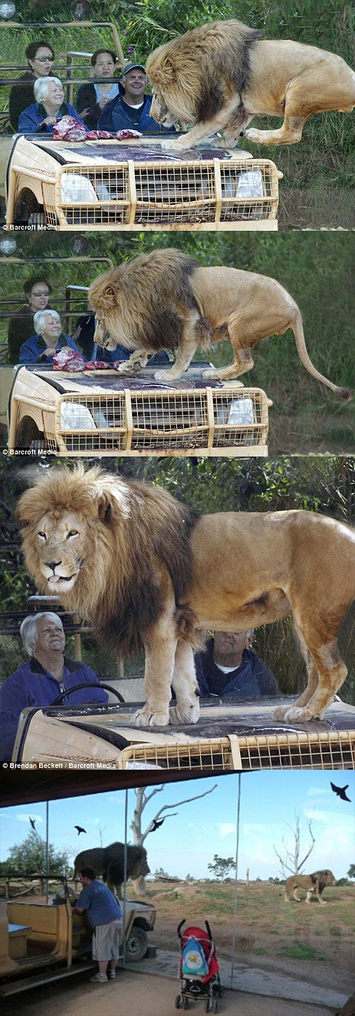 Best lion exhibit design ever.