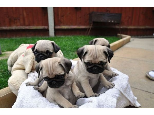 25 best ideas about pug puppies for adoption on pinterest