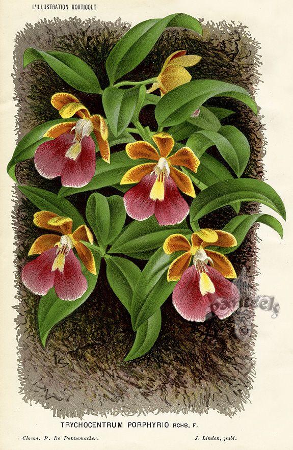 Старинные ботанические принты. Обсуждение на LiveInternet - Российский Сервис Онлайн-Дневников